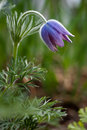 Semi-open pulsatilla in garden Royalty Free Stock Photos