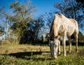 Semi white colored mare horse grazing in the field. Royalty Free Stock Photo