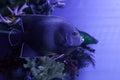 Semicircle angelfish among algae Royalty Free Stock Photo