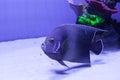Semicircle angelfish in aquarium Royalty Free Stock Photo