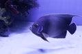 Semicircle angelfish on the bottom Royalty Free Stock Photo