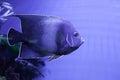 Semicircle angelfish closeup Royalty Free Stock Photo