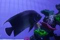 Semicircle angelfish among corals Royalty Free Stock Photo