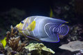 Semicircle angelfish (Pomacanthus semicirculatus) Royalty Free Stock Photo