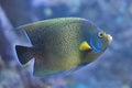 Semicircle angelfish Pomacanthus semicirculatus Royalty Free Stock Photo