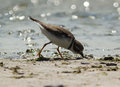 Semipalmated plover charadrius semipalmatus a small shorebird feeding on the muddy shores of lake ontario during fall migration Stock Photography