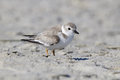 Semipalmated Plover Royalty Free Stock Photo