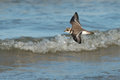 Semipalmated Plover in flight over water Royalty Free Stock Photo