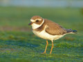 Semipalmated plover posing at sunset Royalty Free Stock Photos