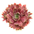 Sempervivum Royalty Free Stock Images