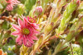 Sempervivum Flowers
