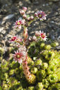 Sempervivum hybride Royalty Free Stock Images