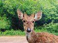 Send deer back to forest from road Royalty Free Stock Photo