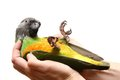 Senegal parrot on white poicephalus senegalus the background Royalty Free Stock Images