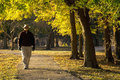 Senior adult male walks alone under fall leaves in park this mature quiet contemplation along a wooded path through a with golden Stock Photography