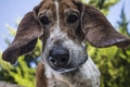 The senior basset looking down with droopy ears Stock Photo