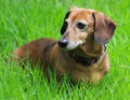 Senior Dachshund Stock Photo