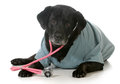 Senior dog dressed up like a veterinarian isolated on white background black labrador retriever Stock Photos
