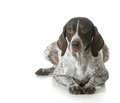 Senior dog german shorthaired pointer on white background Royalty Free Stock Photography