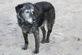 A senior dog standing wet on the sand after a swim Royalty Free Stock Photo