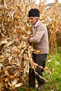 Senior farmer at corn harvesting Royalty Free Stock Photography
