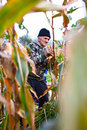 Senior farmer harvesting corn Royalty Free Stock Photography
