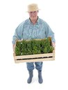 Senior gardener with box of aspic female wearing straw hat holding wooden crate full seedlings shot on white Stock Photography
