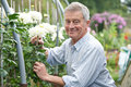 Senior man cultivating flowers in garden portrait of Stock Photography