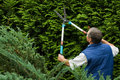 Senior man gardener cut a hedge Stock Image