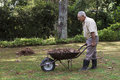 Senior man picking-up dry leaves from the lawn with a wheelbarrow. Royalty Free Stock Photo