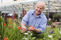Senior man shopping in garden centre, holding red flower, smiling, portrait Royalty Free Stock Photo