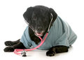 Senior pet care labrador retriever wearing stethoscope and lab coat isolated on white background Royalty Free Stock Photos