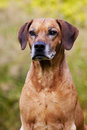 Senior rhodesian ridgeback male a beautiful old hound dog head portrait with relaxed expression in the grey face Stock Images