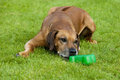 Senior rhodesian ridgeback male a beautiful old hound dog with relaxed expression in the grey face is trying to open his treat box Royalty Free Stock Photography