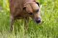 Senior rhodesian ridgeback male a beautiful old hound dog with relaxed expression in his grey face is eating grass Royalty Free Stock Photography