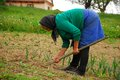 Senior woman cultivating beans from a romanian village and hoeing before rain starts Royalty Free Stock Photo
