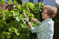 Senior Woman Inspecting Grapes in Garden Royalty Free Stock Image