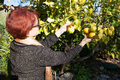 Senior Woman Picking Lemon Royalty Free Stock Photo