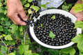 Senior woman picking ripe black currant Royalty Free Stock Photos