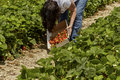 Senior Woman picking Strawberries in a Strawberry Field Royalty Free Stock Photo