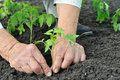 Senior woman planting a tomato seedling Royalty Free Stock Photo