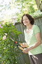Senior woman pruning rose bush Royalty Free Stock Image