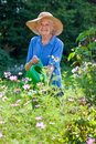 Senior woman watering flower plants at the garden smiling wearing brown hat her while looking camera Stock Photos