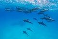 Spinner dolphin pod Royalty Free Stock Photo