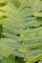 Sensitive plant which have dews in morning Royalty Free Stock Photo