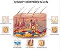 Sensory receptors in the skin Royalty Free Stock Photo