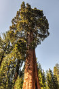 Sentinel sequoia national park tree california Stock Photography