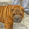 Sentry dog a of breedshar pei red colour Royalty Free Stock Image