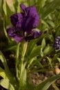 Separate beautiful iris grows in the garden.