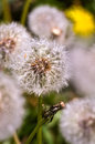 Separately taken deflorate dandelion near the leafless withered Royalty Free Stock Photo